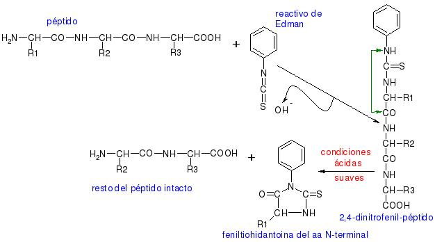 ¿Qué son los péptidos en un producto cosmético?