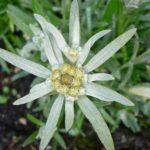 Extracto de Edelweiss en una crema